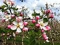 Apple plantation in Ressen (Lingewaard).jpg