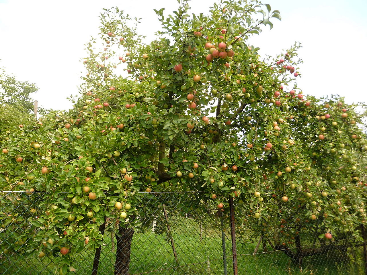 how to help apple trees