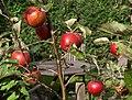Apples in Torre - geograph.org.uk - 2618268.jpg