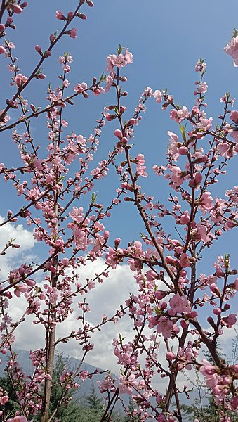File:Apricot flowering 2021.jpg