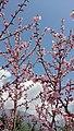 Apricot flowering 2021.jpg