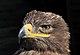 Aquila nipalensis orientalis qtl1.jpg