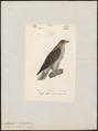 Aquila pennatus - 1842-1848 - Print - Iconographia Zoologica - Special Collections University of Amsterdam - UBA01 IZ18100213.tif