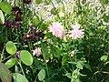 Aquilegia Flowers. Common Name - Columnbine, Granny's Bonnet.jpg