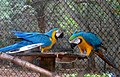 Ara glaucogularis macaw IGZoopark Visakhapatnam (1).JPG