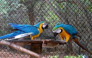 Indira Gandhi Zoological Park - blue-and-yellow macaw (Ara ararauna), Zoo Park