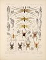 Arachnida Araneidea Vol 1 Table 30.jpg