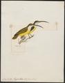 Arachnothera longirostra - 1820-1860 - Print - Iconographia Zoologica - Special Collections University of Amsterdam - UBA01 IZ19000127.tif