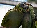 Aratinga acuticaudata -Madeira -captive-8a.jpg