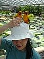 Aratinga solstitialis -Kakegawa Kacho-en, Kakegawa, Shizuoka, Japan -perching on hat-8b.jpg
