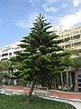 Araucaria columnaris Málaga.jpg