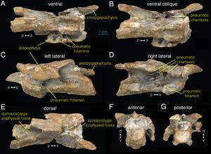 Archaeornithomimus - Cervical vertebra in multiple views