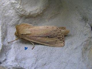 <i>Capsula sparganii</i> Species of moth