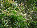 Archidendron bigeminum (L.) I.C.Nielsen (33199618666).jpg