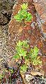Arctostaphylos parryana 1.jpg