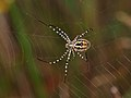 Argiope trifasciata 01 - Aranya tigre - Banded argiope (5077148923).jpg