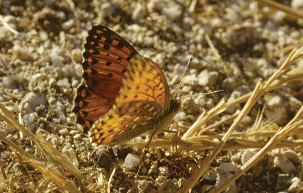 Bộ sưu tập cánh vẩy 5 - Page 3 1024px-Argynnis_elisa_-_Nature_Conservation-001-073-g026