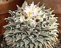 Ariocarpus retusus 2.jpg