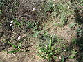 Armeria macrophylla.JPG