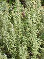 Artemisia pontica0.jpg