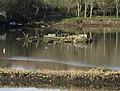 Artificial island , tidal mill pond, Forder Creek - geograph.org.uk - 1192365.jpg