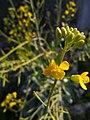 Arya- field mustard-graha nuansa-2019-3.jpg