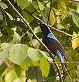 Asian Fairy Bluebird. AMSM2376.jpg