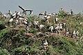 Asian Openbill (Anastomus oscitans) heronery in Uppalpadu, AP W IMG 2827.jpg