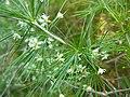 Asparagus laricinus 2.JPG