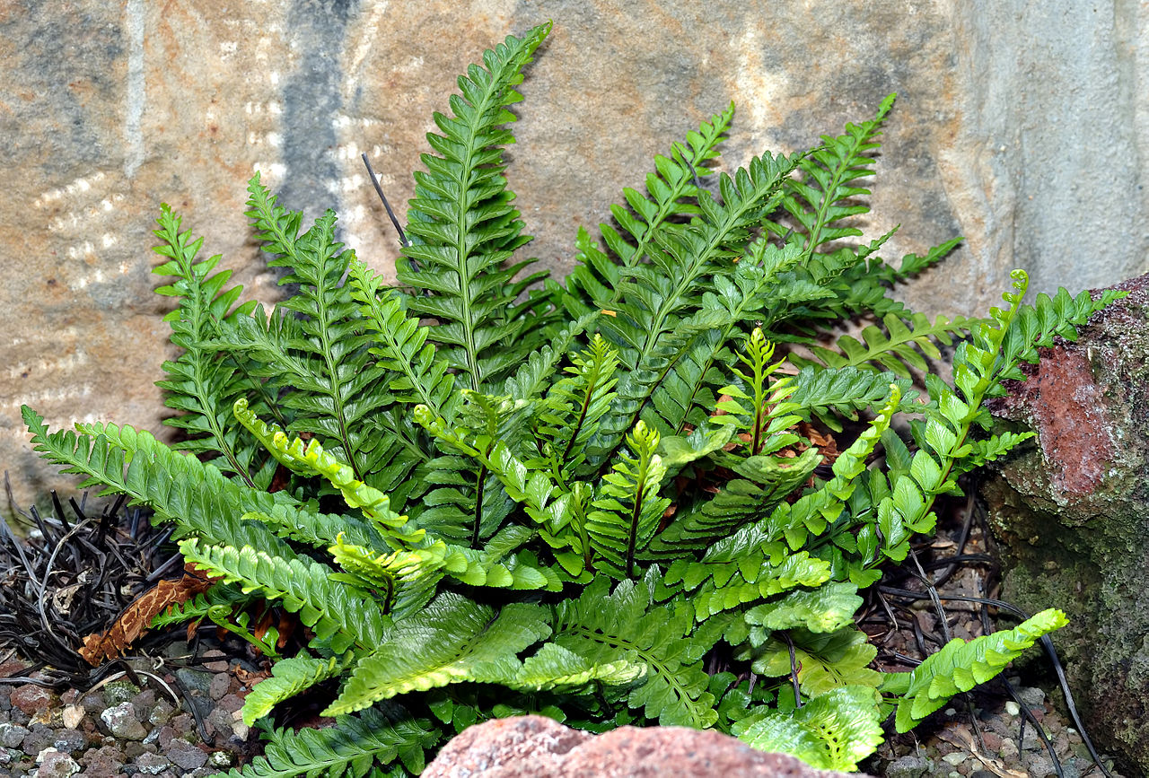 Asplenium bulbiferum asexual reproduction
