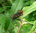 Assassin Bug. Reduviidae. - Flickr - gailhampshire (2).jpg