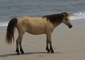 Chincoteagues de l'île d'Assateague
