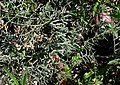 Astragalus aequalis 1.jpg