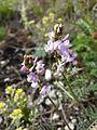 Astragalus austriacus sl14.jpg