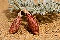 Astragalus ceramicus var. ceramicus - Flickr - aspidoscelis (2).jpg