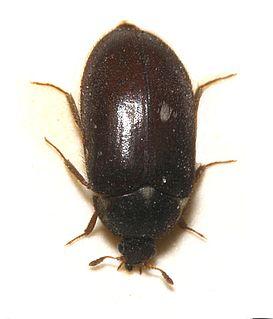 <i>Attagenus pellio</i> species of beetle
