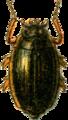 Aulonogyrus concinnus Jacobson.png