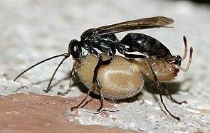 Tönnchenwegwespe mit Beute (Auplopus carbonarius)