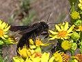 Avispon negro - Himenópteros Vespoideos (14546997890).jpg