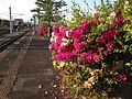 Azalea flowers on platform of Iizuka Station.JPG