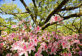 Azaleas in bloom in front of the library (5532513917).jpg