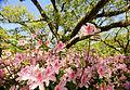 Azaleas in bloom in front of the library (5532513917).jpg