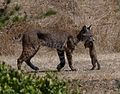 BOBCAT (lynx rufus) (7-21-06) with CA ground-squirrel, canet road, morro bay, slo co, ca (569845780).jpg