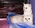 BRI kittens (5648020191).jpg