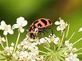 BUG (Coleomegilla maculata strenua) (8-11-09) pepperill, MA -01 (3991100623).jpg