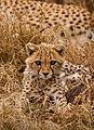 Baby Cheetah - Marko Dimitrijevic.jpg