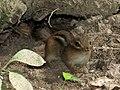 Baby Chipmunk (30909344364).jpg