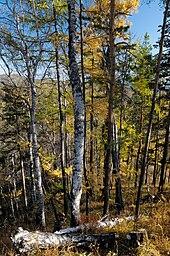 external image 170px-BaikalForest_%28pixinn.net%29.jpg