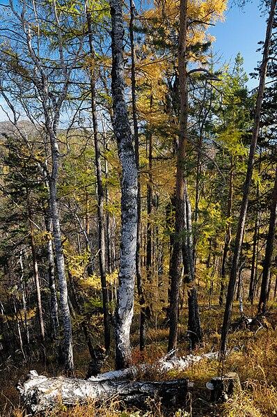 File:BaikalForest (pixinn.net).jpg