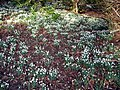 Bank of Snowdrops in Calderglen Park - geograph.org.uk - 342408.jpg